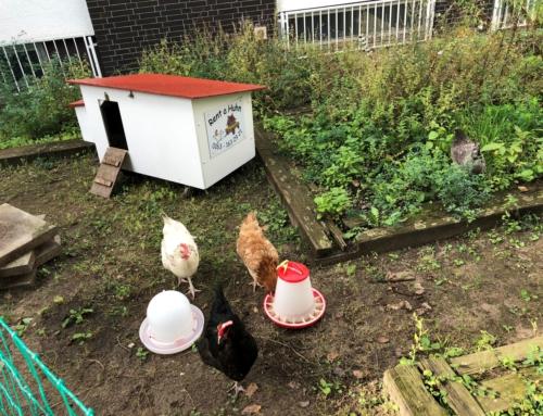 Die Hühner sind los!
